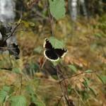 Осенняя бабочка